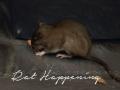 Rat Happening released