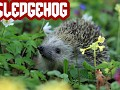 Sledgehog