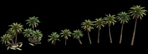 Cretan Date Palms