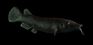 Electric catfish