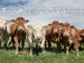 The Cows Are Watching