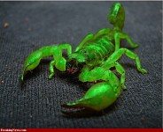 green scorpion pic 1