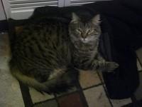 My Cat Tiger