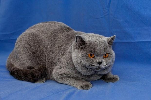 Mr British cat