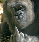 Gorilla don't like you