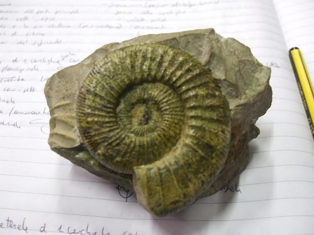 Ammonite #02