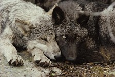 Hybrid wolves as pets
