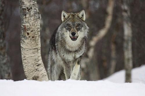 British dire wolf