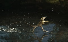 The Jesus Christ Lizard