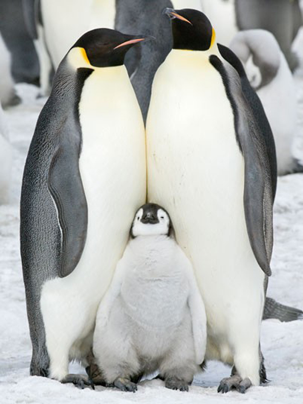 Regular Antarctician family