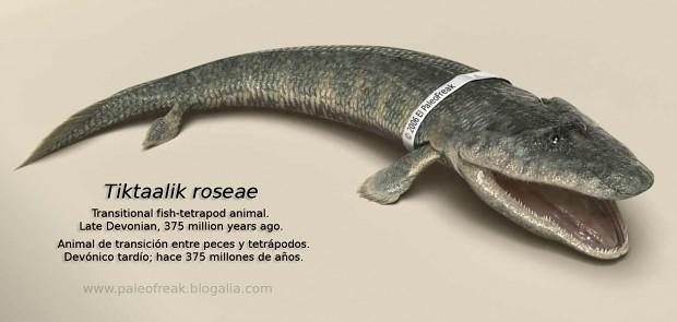 Tiktaalik a trasitional fossil
