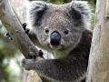 Koalabot