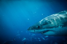 Super Shark Dive 2012