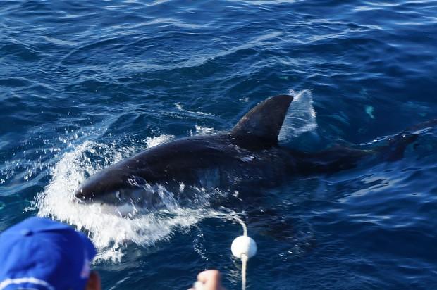 Super Shark Dive 2012