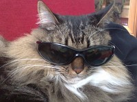 My siberian cat