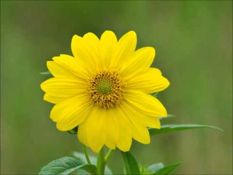 Yellow LoLflower