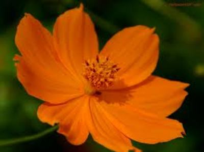 Orange LoLflower