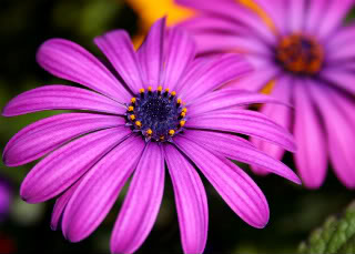Purple LoLflower