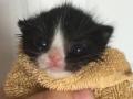Kitten Melee Replacement