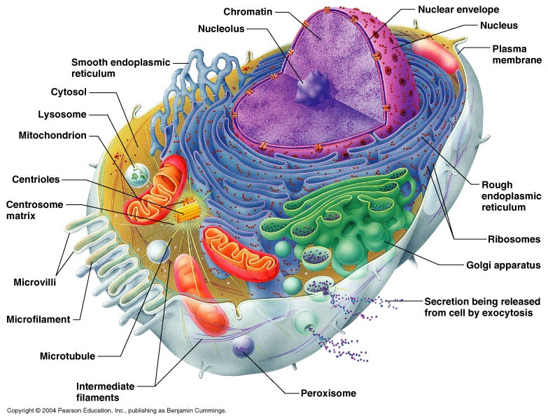 Human cell structure and function.