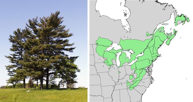 Pinus_strobus_trees