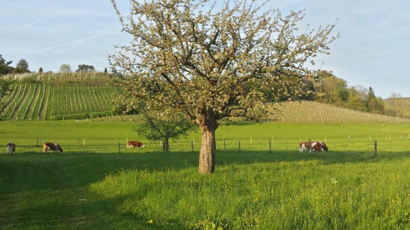 Switzerland Pastoral Fields