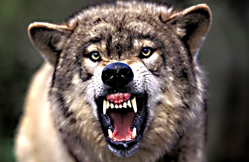 Оскал волка фото хорошее качество