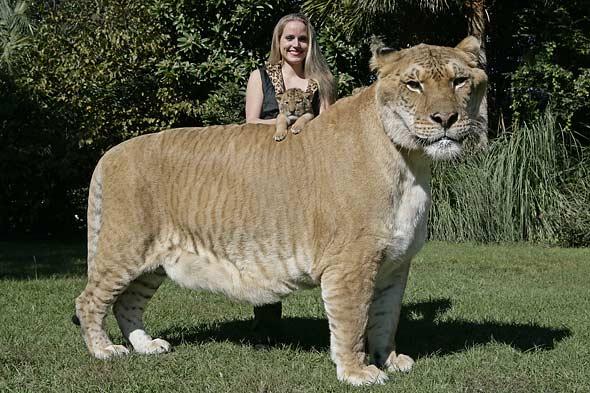 [Image: aries-liger-cub-hercules-picture.jpg]