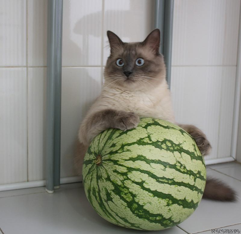 cat and watermelon or watermelon and cat image cat lovers mod db