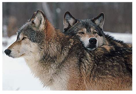 Two Wolves In Love