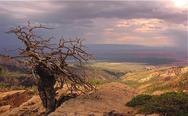 grand conyon tree