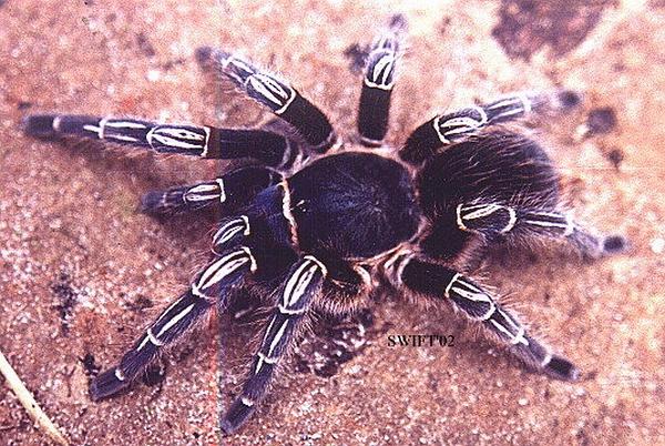 Spider legs hairstyle