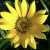 Yellow_LoLflower
