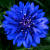 Blue_LoLflower