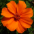 Orange_LoLflower