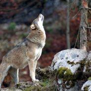 Wolfzer0